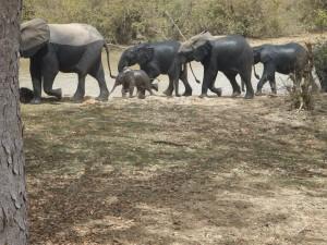 Elephants à Nazinga elephants-044-300x225