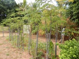 petite plantation de moringa